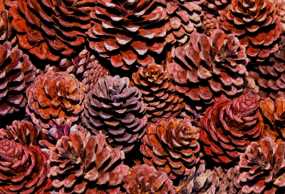 Pine Cone image courtesy of cbenjasuwan / FreeDigitalPhotos.net