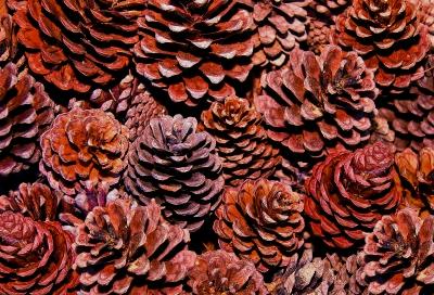 Pine Cone image courtesy of cbenjasuwan / FreeDigitalPhotos.net