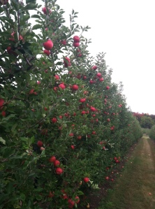 Tougas farm, apple season Photo by CR Oliver