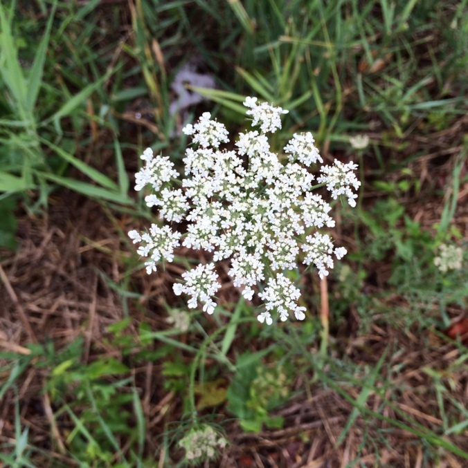 Queen Anne's Lace_CarolynOliver